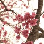 今帰仁グスク桜まつり